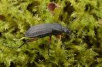 Carabus granulatus